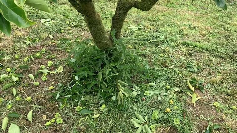 摘果後の柿の木の周り